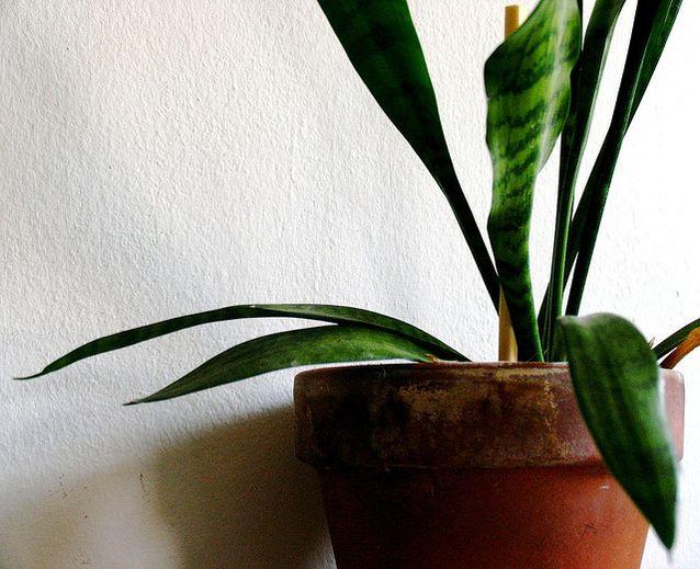 snake plant.jpg.638x0_q80_crop-smart